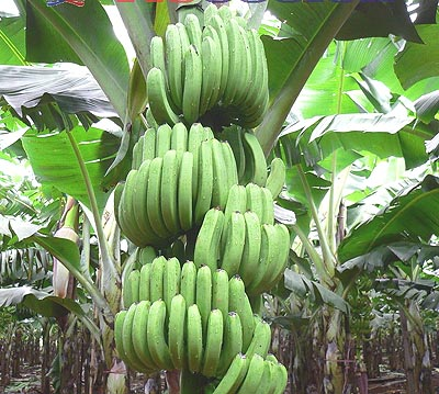 El plátano verde:  Bueno para tu salud...