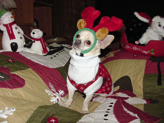 This is Rocky, a 7-year-old Chihuahua from Brooklyn.  He's no stranger to holiday garb - he dresses up for his own calenday every year!