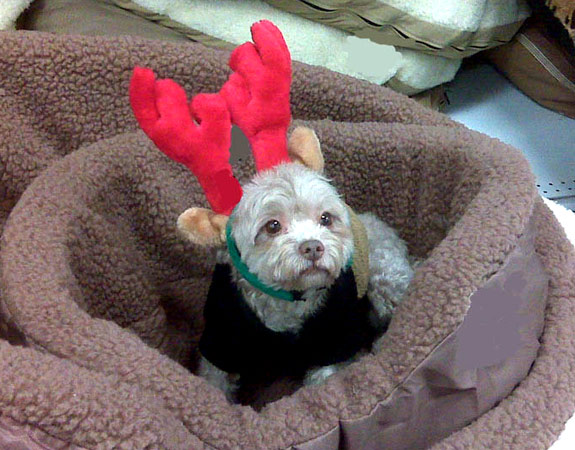 Maltipoo Cocoa's owners report he was totally into this PetCo photo-op and didn't mind the antlers at all. This cutie pie Maltipoo hails from Floral Park.